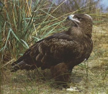 степной орел фото